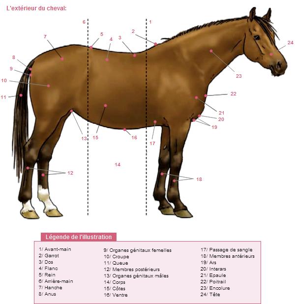 Les parties du cheval