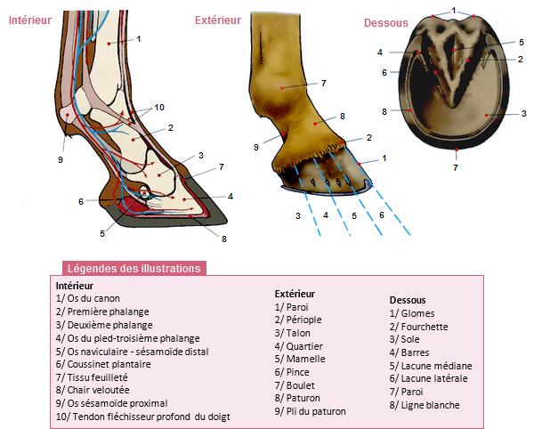 Le pied et le sabot