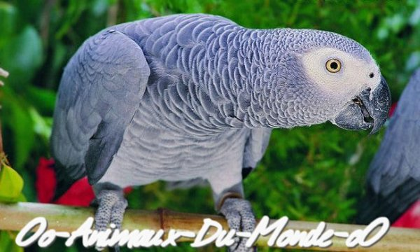 Le perroquet (Gris d'afrique ou jaco)
