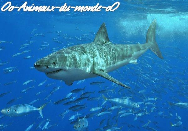 Le requin (blanc)