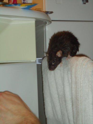 mes rats et ... un bain