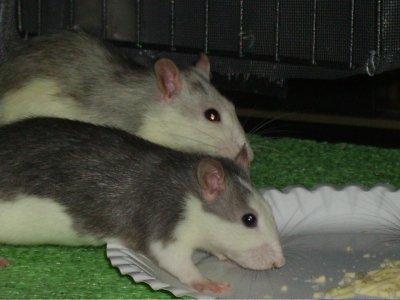Les 2 ptits rats Uski en train de manger