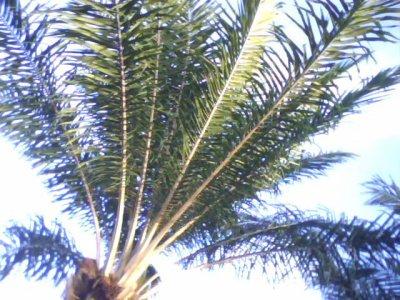 Apprendre à tresser du panier n'est pas tellement chose aisée !!Il faut tout d'abord couper les branches de palmier,les découper avec précision et en trouver cinq diffrérentes structures pour pouvoir faire  un panier.Il faut huit branches de palmier pour faire un panier moyen !!