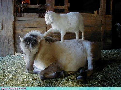 Une chèvre masseuse ça existe ? ^^