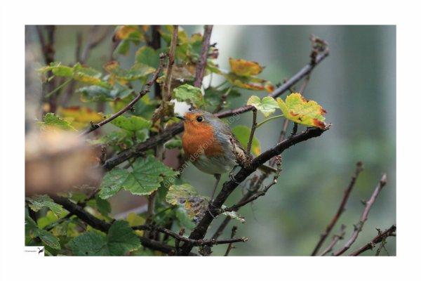 les oiseaux de nos jardin