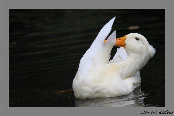 Le canard à pompon blanc