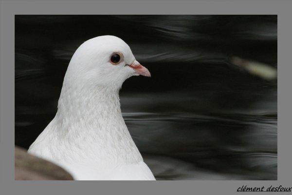 Pigeon biset blanc (Columba livia)