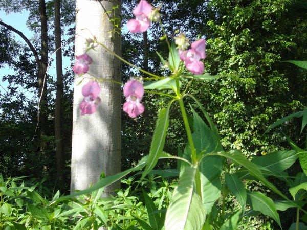 des orchidée sauvage (elle mesure  plus 1.80m)