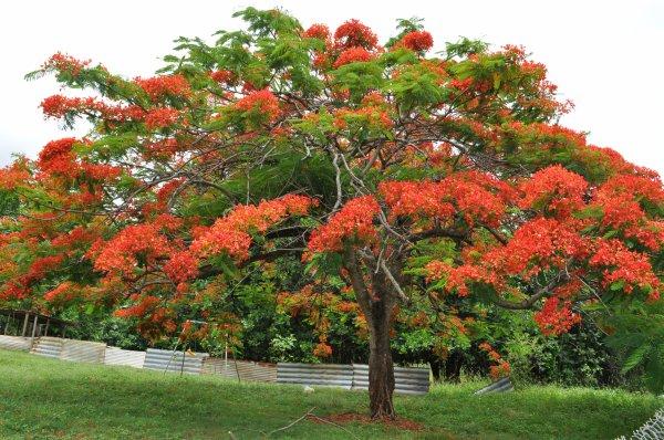 le flamboyant jaune ou rouge c 39 est un arbre magnifique caraibes infos. Black Bedroom Furniture Sets. Home Design Ideas