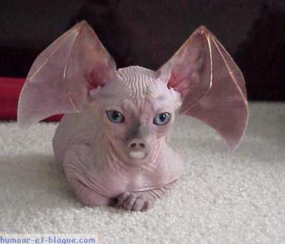 Chat sans poils avec t te et oreille de chauve souris tecktonik - Chat qui perd pas ses poils ...