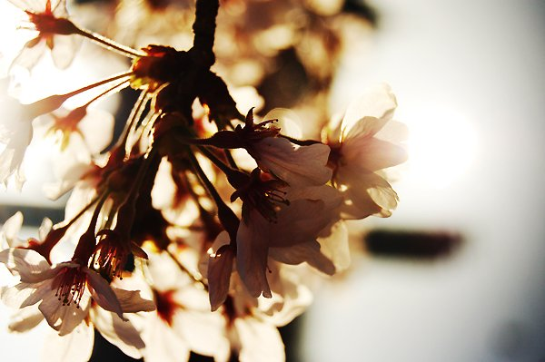 cherry blossoms - Spring -
