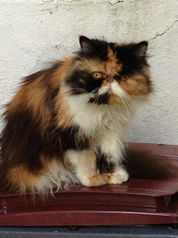 voici Alizé, un trés beau chat
