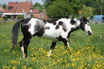 (3)paint horse