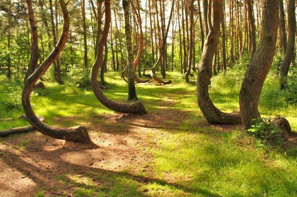 Krzywy Las • La Forêt Tordue