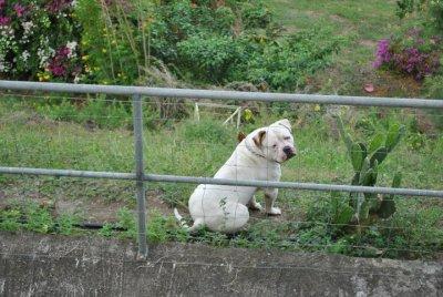 bulldog americain  Père de la porter (septembre2011)