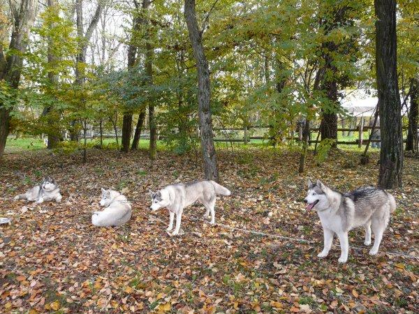 CANI CROSS BISCHWILLER 6 nov 2011 Les 4 loups en stake