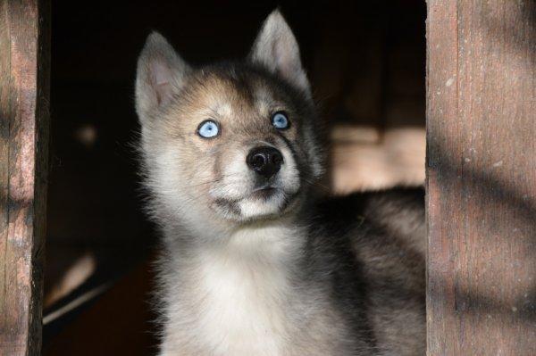 Un petit nouveau Loup-Khan