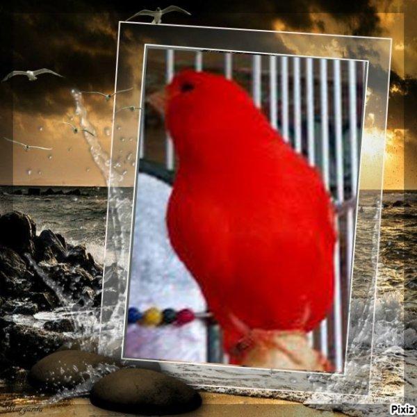 mon petit canari rouge, il chante trop bien .