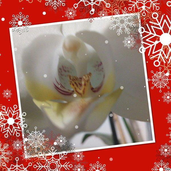 30112017 1ere neige, mon caly et la nouvelle floraison de mes 2 orchidées, 3 eme cette année pour la rose