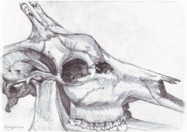 Crâne de girafe
