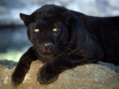 divine panthere noir