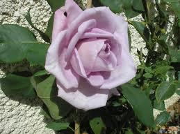 Symbolique des roses