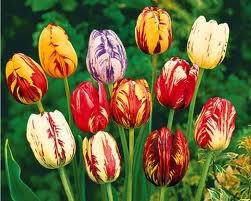 Symbolique des Tulipes