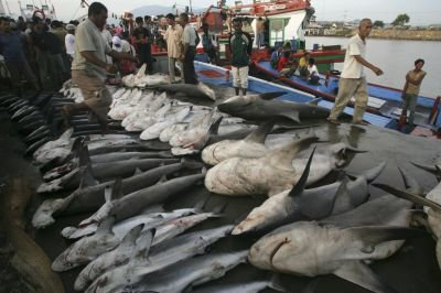Des requins en voie de disparition