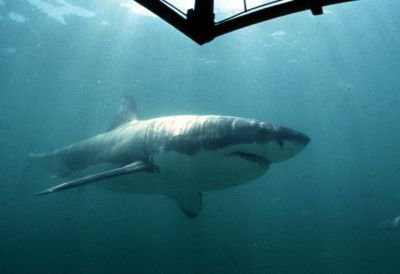 Le grand requin blanc va-t-il disparaitre ?