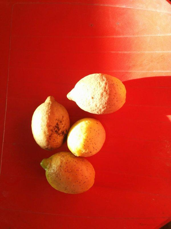 Mon citronnier, complètement abandonné