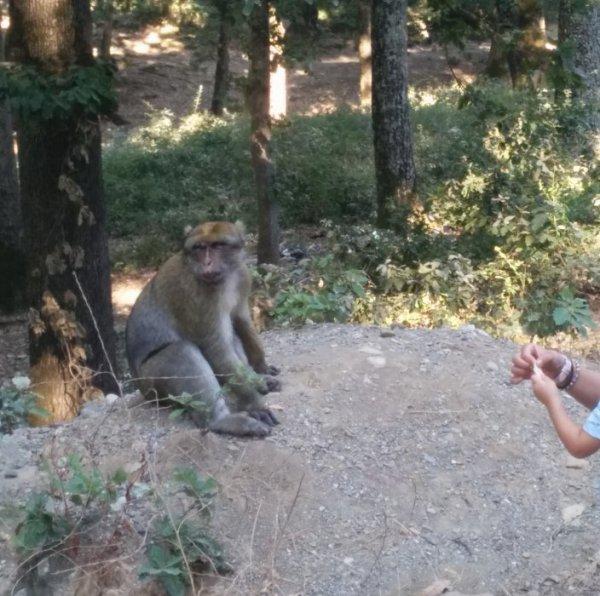 tiens, Un singe magot !