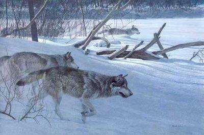 Quelques photos de loup ...