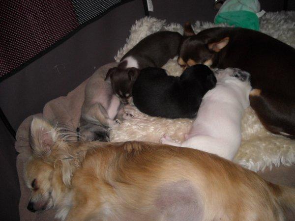 reste 3 bébés chihuahua a réserver