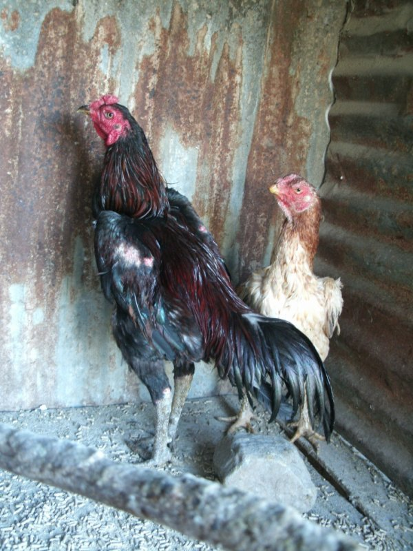 Réunion fils de ma poule caille chair noir