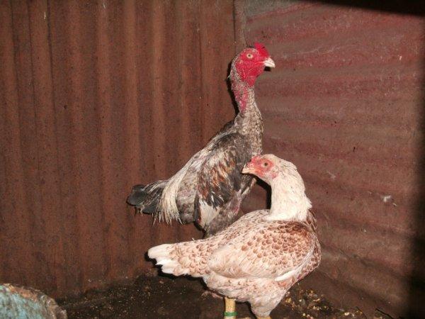 coq tapisserie et ma poule combattant indien