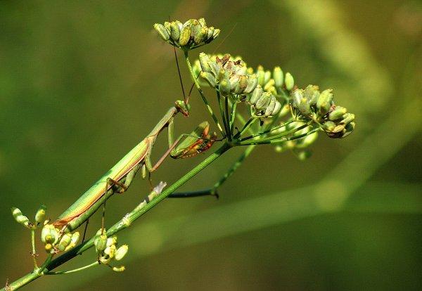 """La mante religieuse surnommée """"le tigre de l'herbe"""""""