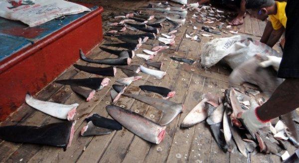 shark finning meurtres de requins