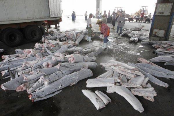 requins mutilés et tués deuxième partie