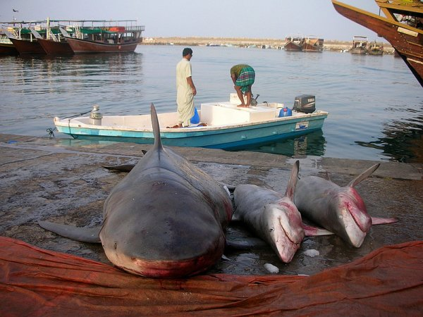 38 à 100 millions de requins tués chaque année
