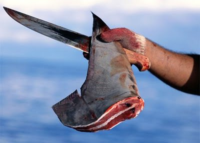 le requin un être sensible