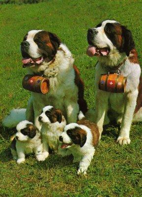 Une belle famille de chiens saint bernard - Blog de Chien