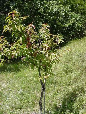 Le pecher les arbres fruitiers - Comment pecher dans un port ...