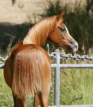cheval arabe croise espagnol