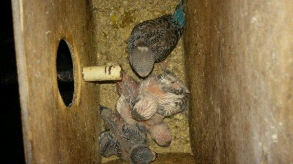 Mes 4 derniers né perruchons