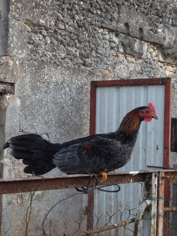 Pti jeune Coq espagnol ceniso