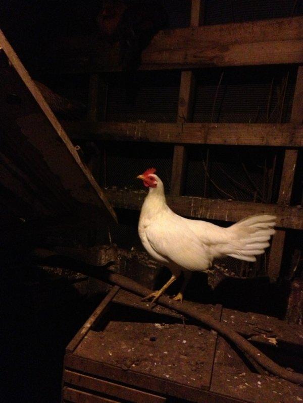 Ma nouvelle poule espagnol blanche