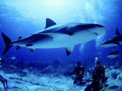 Les requins...
