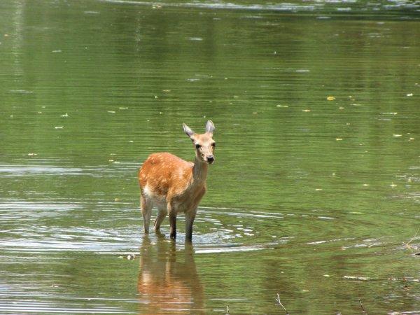 Nara - Park - un bambi à l'eau !