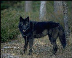 loup d'Alaska