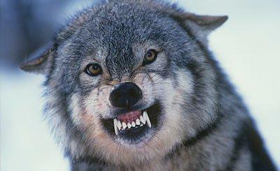 le loup en colere